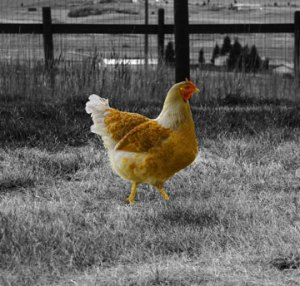 There is something that brightens the day having chickens around.