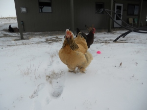 Snow does not stop chickens.