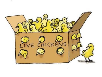 Chicks-in-box