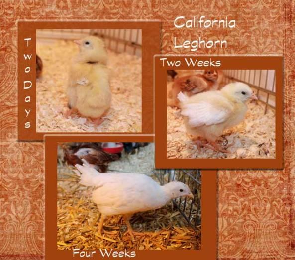 California-Leghorn
