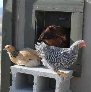 This Year's chicks sit just outside the door