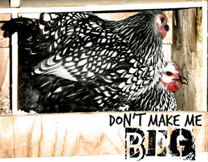 Broody hen vs. a hen who wants to lay eggs.
