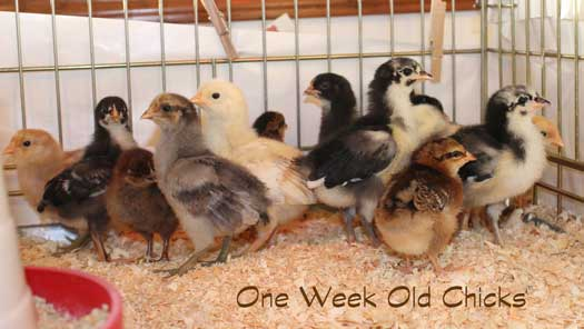 My one week old mixed flock of chicks for the year.