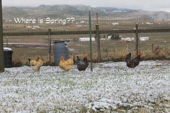 Even the chickens are wondering if we will have snow every morning this summer.