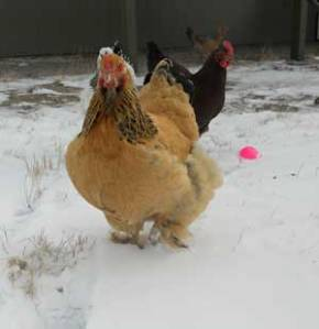 My chickens don't let the snow of winter stop them from foraging.