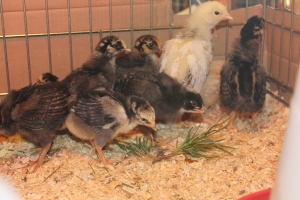 The chicks are showing interest in eating the grasses already at two weeks.