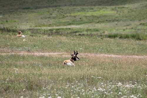 People call them antelope, but the are really pronghorn.   Here is a nice buck.